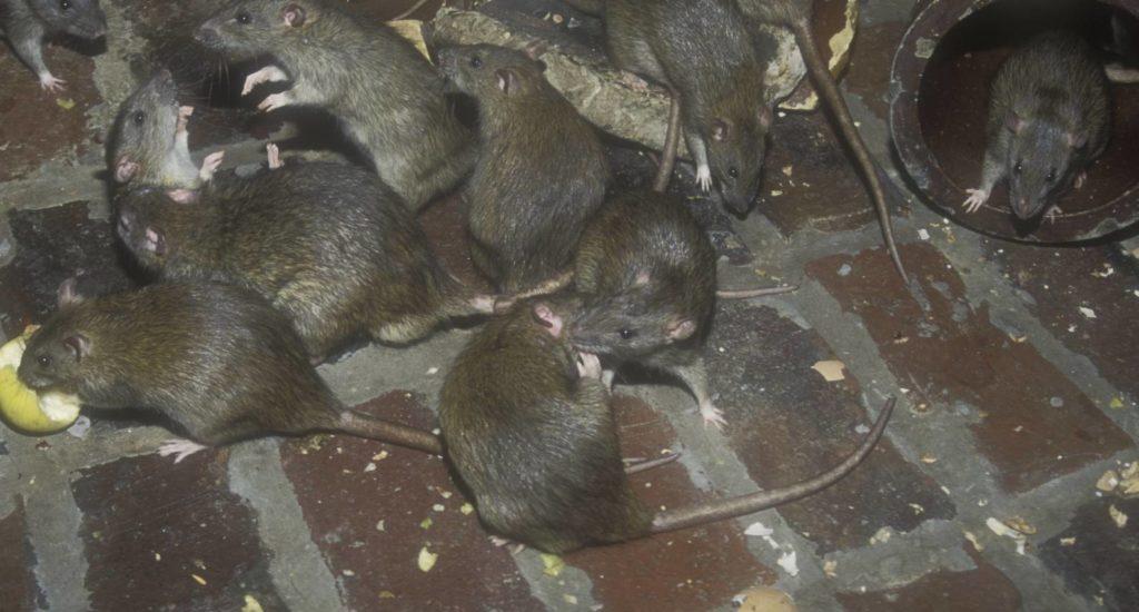 уничтожение крыс в Воскресенске
